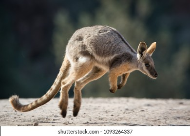 Good to see the little Yellow Footed Rock Wallabys back from the brink of extinction. Flinders Ranges, Outback South Australia.