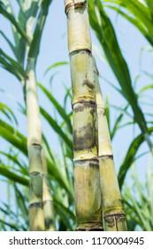 Good sugar cane in the farmland