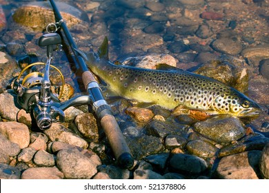 Good trophy, beach casting. Caught by spinning brown trout (Salmo trutta fario) is in water on pebbles. Picturesque gravel and spinning like still life