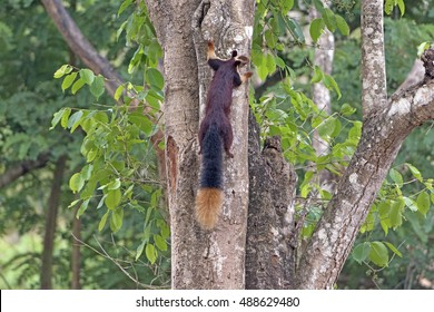 Good View of the Giant Malabar Squirrel Tail in Nagarhole National Park in India