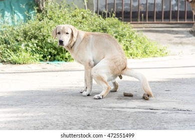 Good weather is sunny Labrador retriever pooing on street.