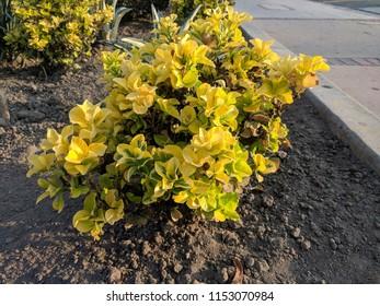 Goodmorning Sunshine Flowers