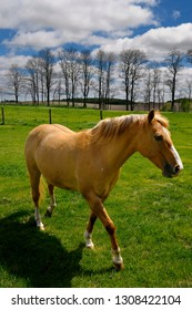 Goodwood, Ontario, Canada - May 9, 2010: Palomino horse walking in field of grass on rolling hills of Oak Ridges Moraine