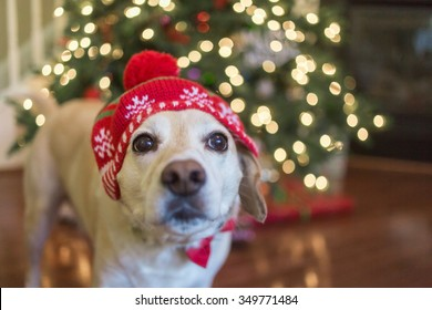 Goofy beagle lab mix dog wears funny Christmas hat in front of Christmas tree