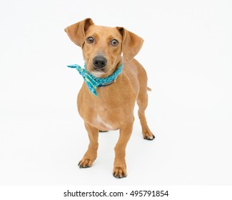Goofy brown male Dachshund wearing blue bow tie standing on white. Homeless shelter dog looking for a family.