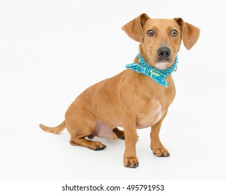 Goofy brown male Dachshund wearing blue bow tie sitting on white. Homeless shelter dog looking for a family.