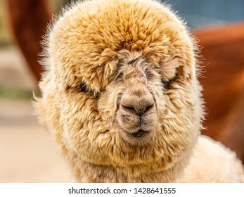 A goofy brown puffy alpaca face at a farm