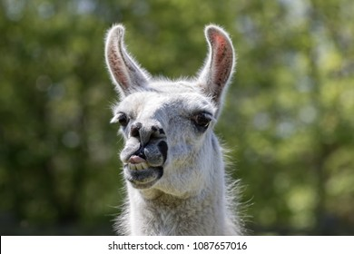 Goofy lama pulling a face. Funny llama animal sticking it's tongue out. Humorous meme image