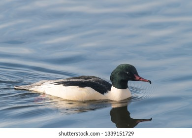 Goosander, Mergus merganser, breeding plumage, male swimming at sea Germany