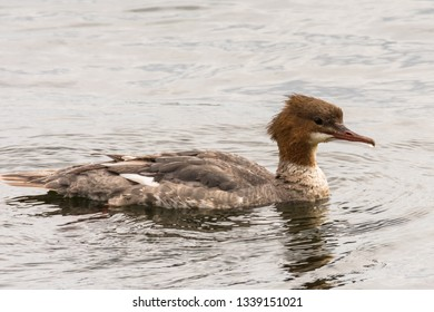 Goosander, Mergus merganser, female swimming on lake Germany