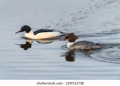 Goosander, Mergus merganser, Females us male, Summer plumage, at sea Germany