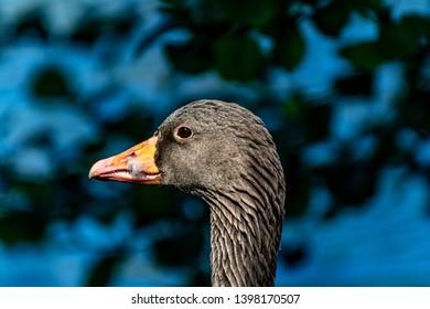 goose animal portrait in spring