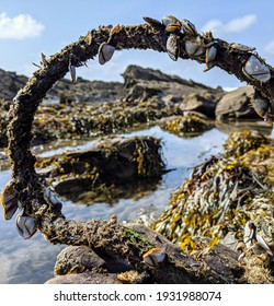 Goose barnacles clinging to a washed up rope on a Cornish coastline