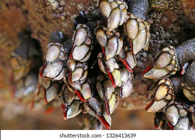 Goose barnacles (Pedunculata) in a sea grotto at the Atlantic Ocean coast of Brittany, France, at low tide