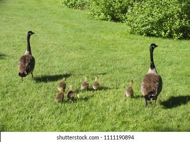 goose birds wildlife species young geese
