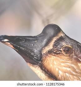 Goose closeup portrait