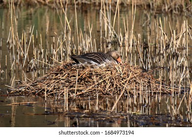 Goose crouches in the nest and breeds