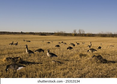 Goose Decoy Spread