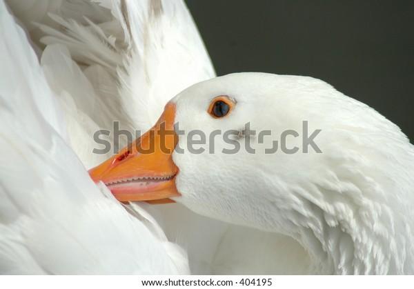 goose ducking