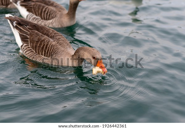 goose-eating-bread-pond-600w-1926442361.jpg