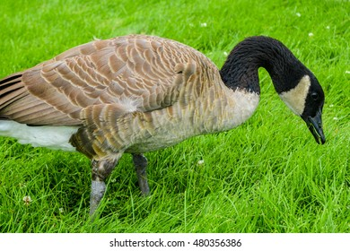 A goose eating grass