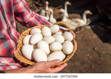 Goose eggs in the hands of a man. Selective focus. Food.
