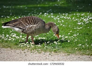 Goose enjoying a grass meal