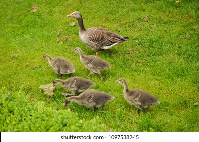 Goose family - adults walking with their offsprings in a park