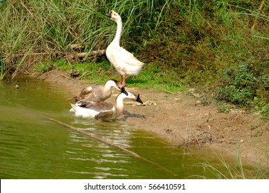 goose, family duck