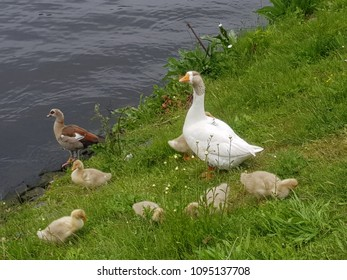 Goose family at the waterside