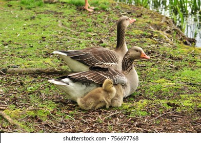 Goose family with young little birds
