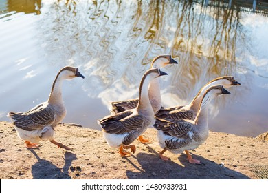 Goose farm. Domestic goose in a farmyard. A flock of domestic geese walking along the sand near lake.