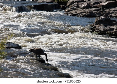 Goose feeding in a waterfall in downtown Sioux Falls, South Dakota