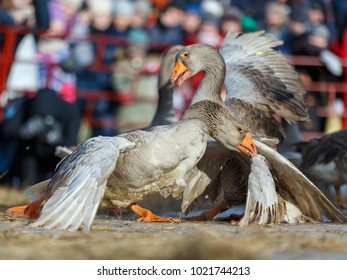 Goose fights in Suzdal, Russia