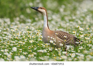 Goose in a flowery field