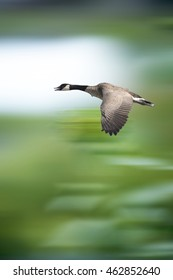 goose flying