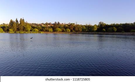 Goose Flying On Lake Surface