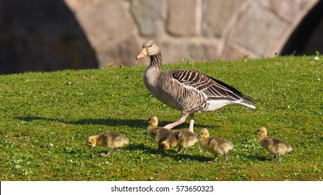 Goose with four goslings on green grass ( anser anser )