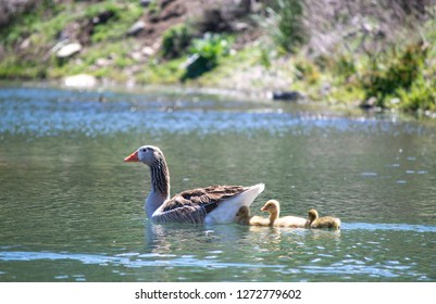 goose with goslings in the pond. three of them are with mother in summer in the pond