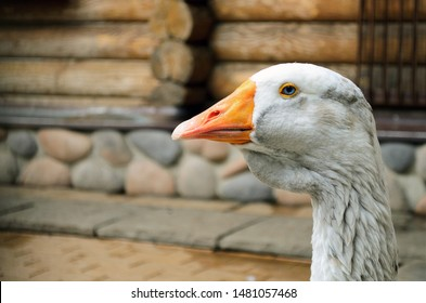 Goose head close-up front. Portrait of a white, gray goose head. Poultry goose, head and beak close-up. White young goose neck and a cute beak.