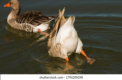 Goose, hides its head in water leaving butt goose unprotected