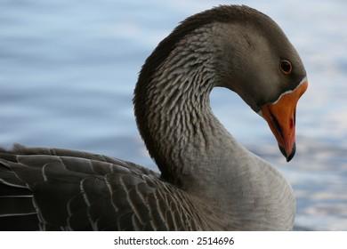 Goose in Lake Johnson, Raleigh