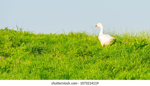 Goose looking over the edge of a dike in spring
