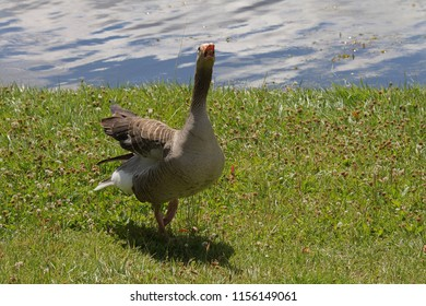 a goose at the moan