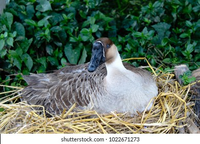 goose in a nest nature background.