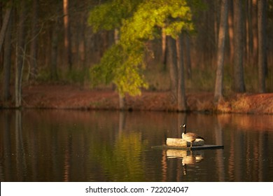 Goose nesting on pond in South Carolina Lowcountry.