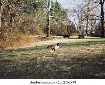 A Goose At Olde Izaak Walton Park, Leesburg, Virginia