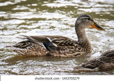 Goose on water. Cute common waterbird close up Image