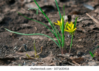 Goose yellow onion images stock photos vectors shutterstock goose onion gagea the first yellow little spring flower in the garden mightylinksfo