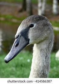 Goose in the park in the summer in Ukraine